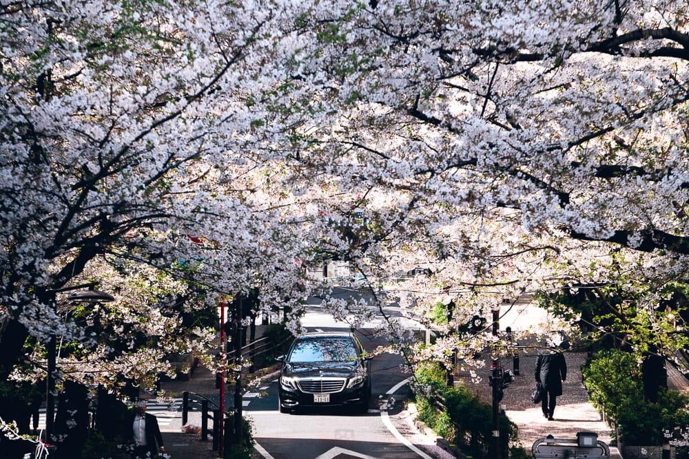 Cherry blossoms02
