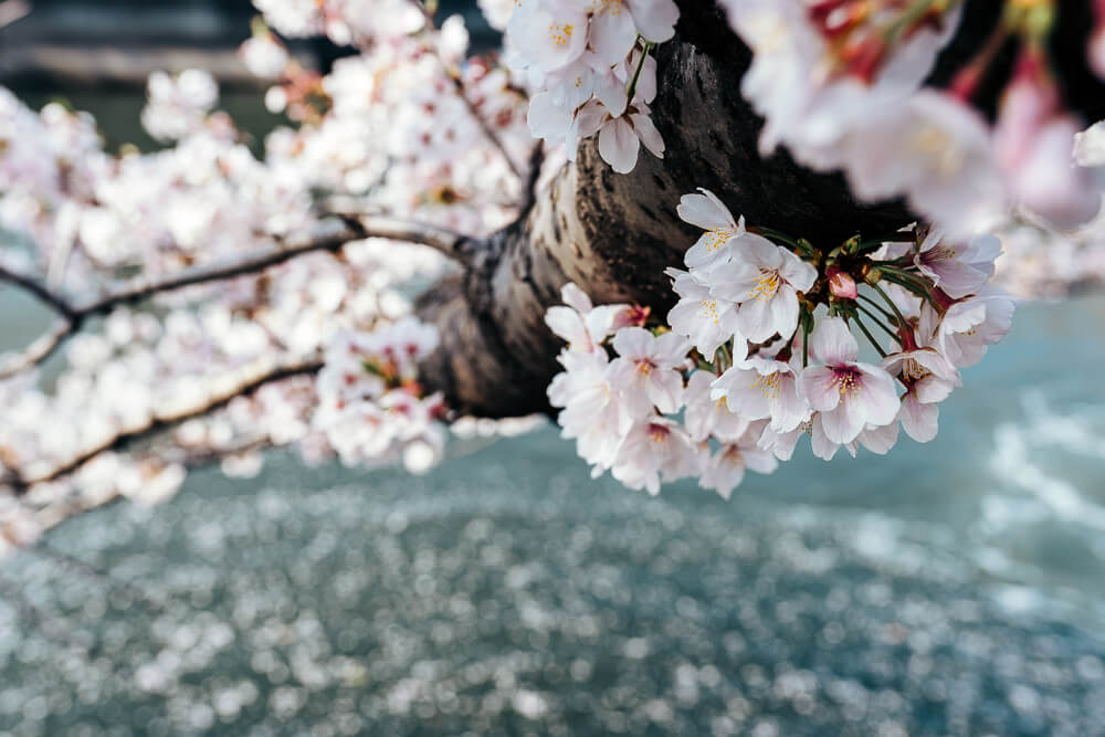 Cherry blossoms04