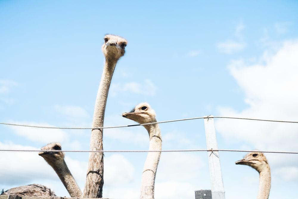 Ostrich Arishima 2nd farm Niseko02
