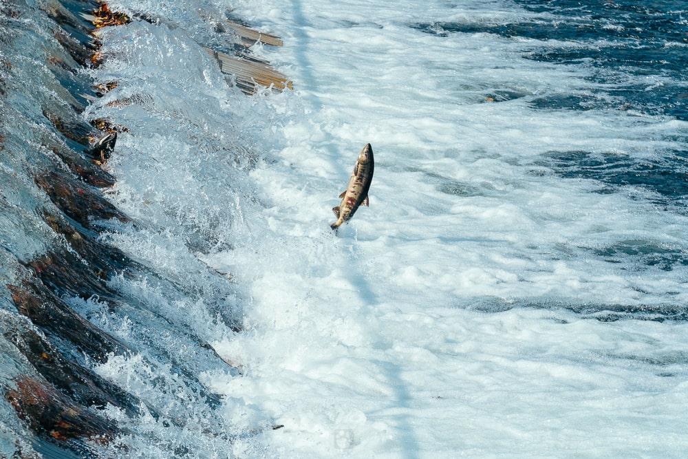Salmon Hometown Chitose Aquarium01