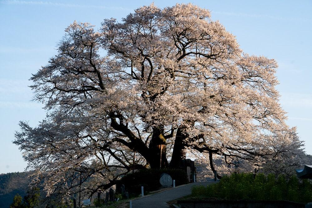 Okayama daigo sakura01